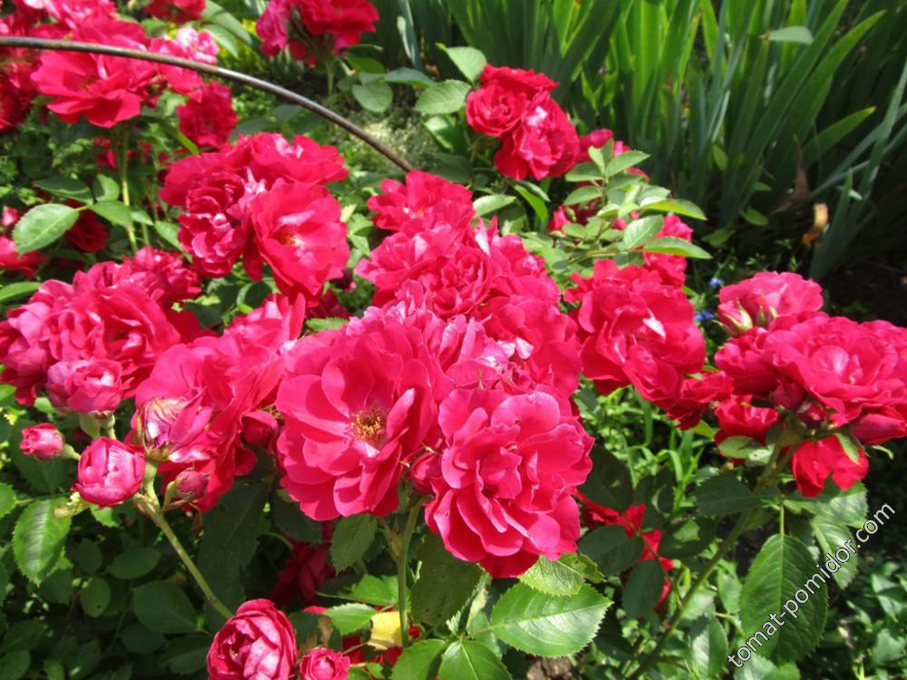 Розы от Гали64