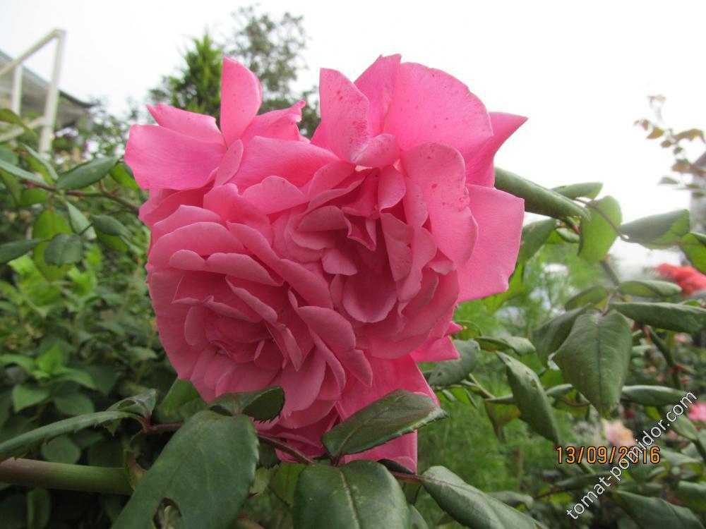 Розовая колючка