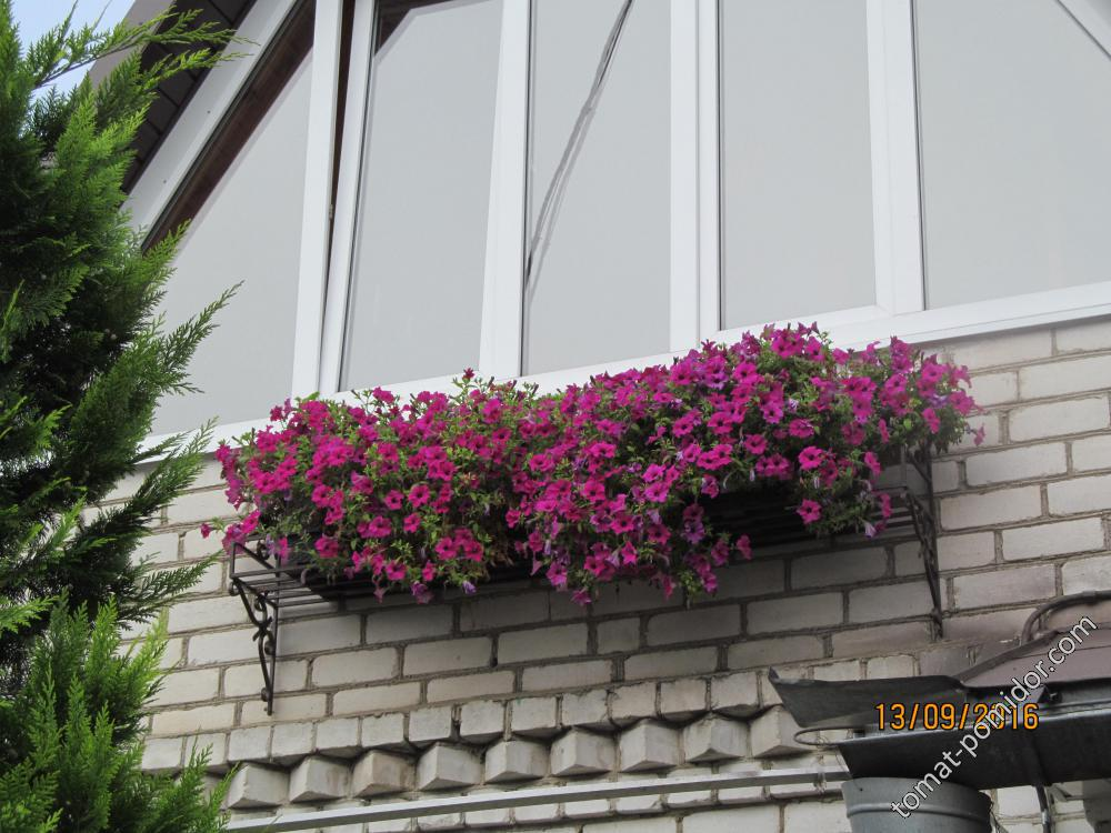 Петуньки балкон