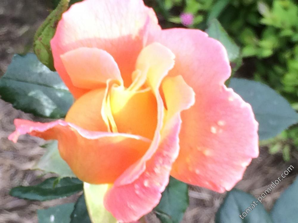 Осень. Розы
