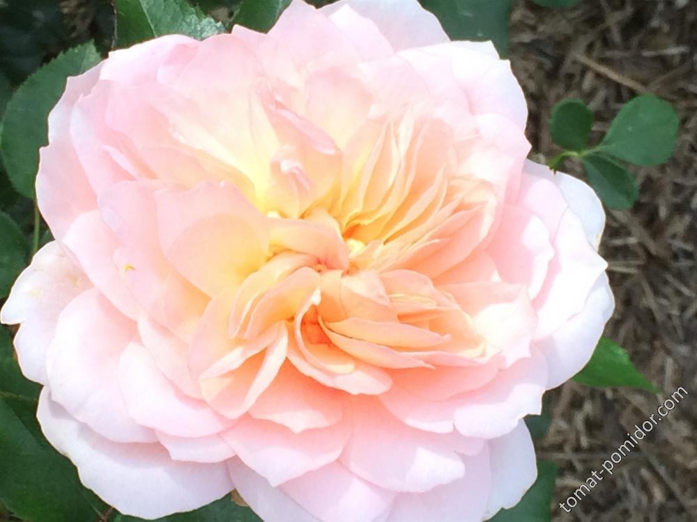 Осень. Розы-1