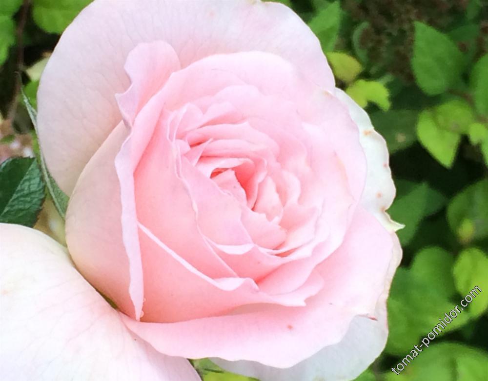Осень. Розы-2