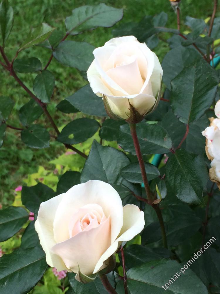 Осень. Розы-3