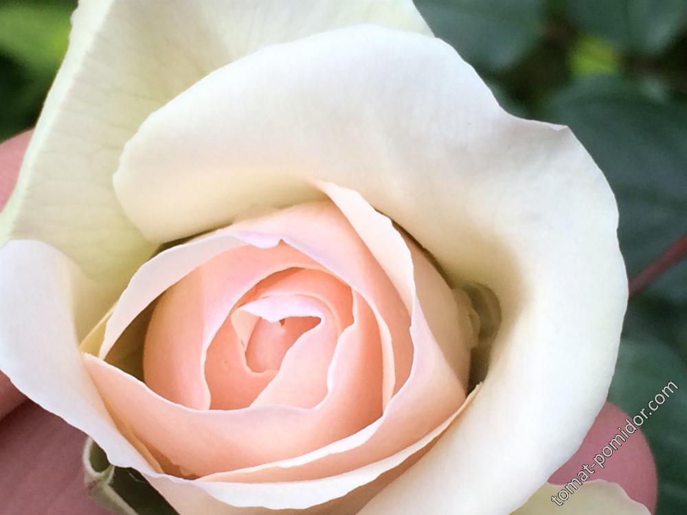 Осень. Розы-4