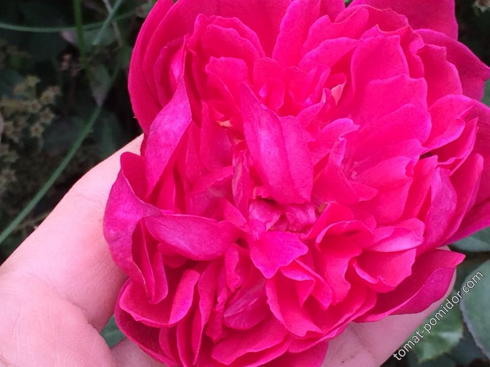 Осень. Розы-5