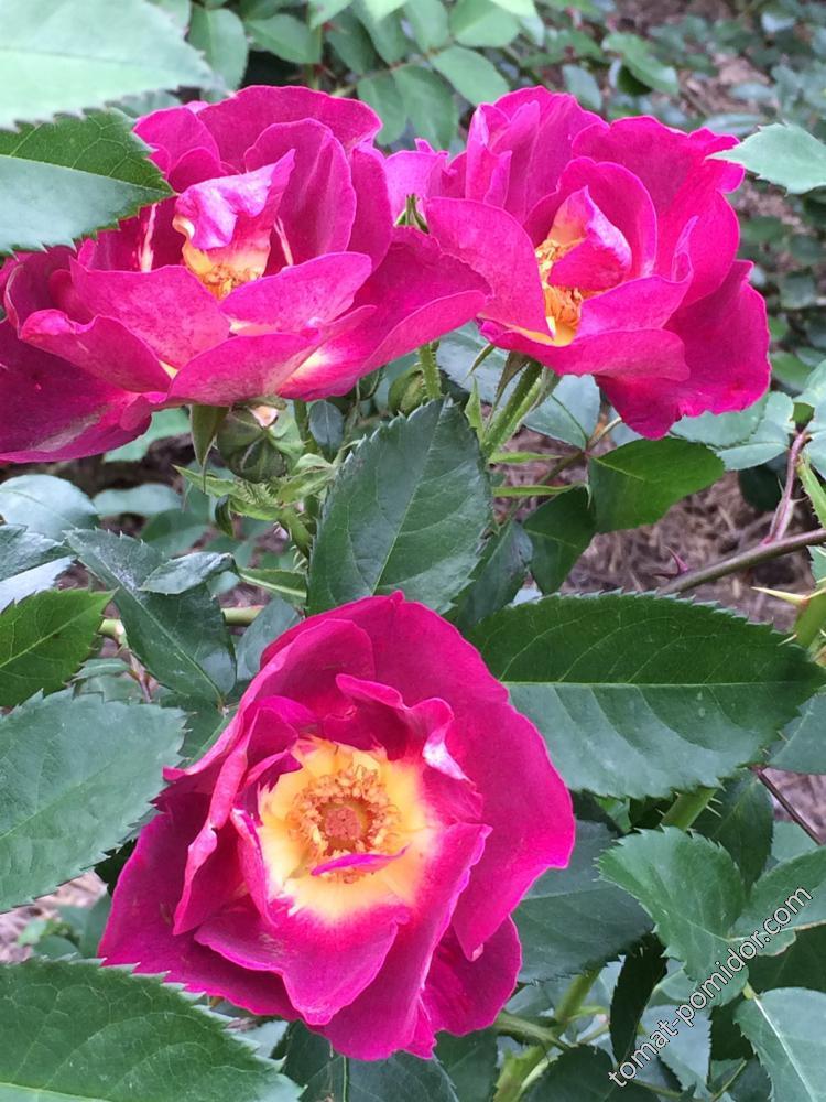 Осень. Розы-6