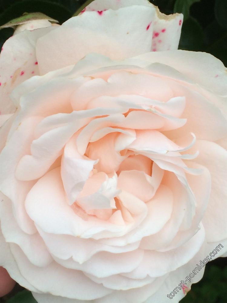 Осень. Розы-7