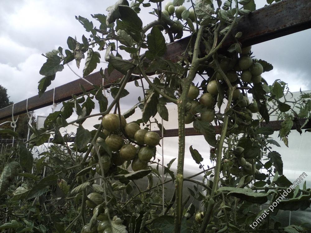 очень урожайный черри , фото от 17 сентября