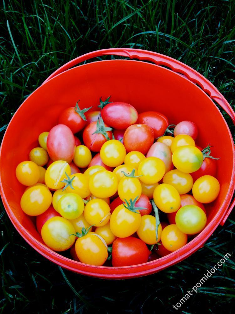 Последний сбор томатов (18 сентября)