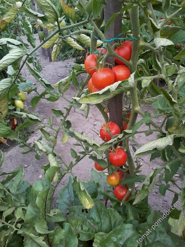 помидоры 2015