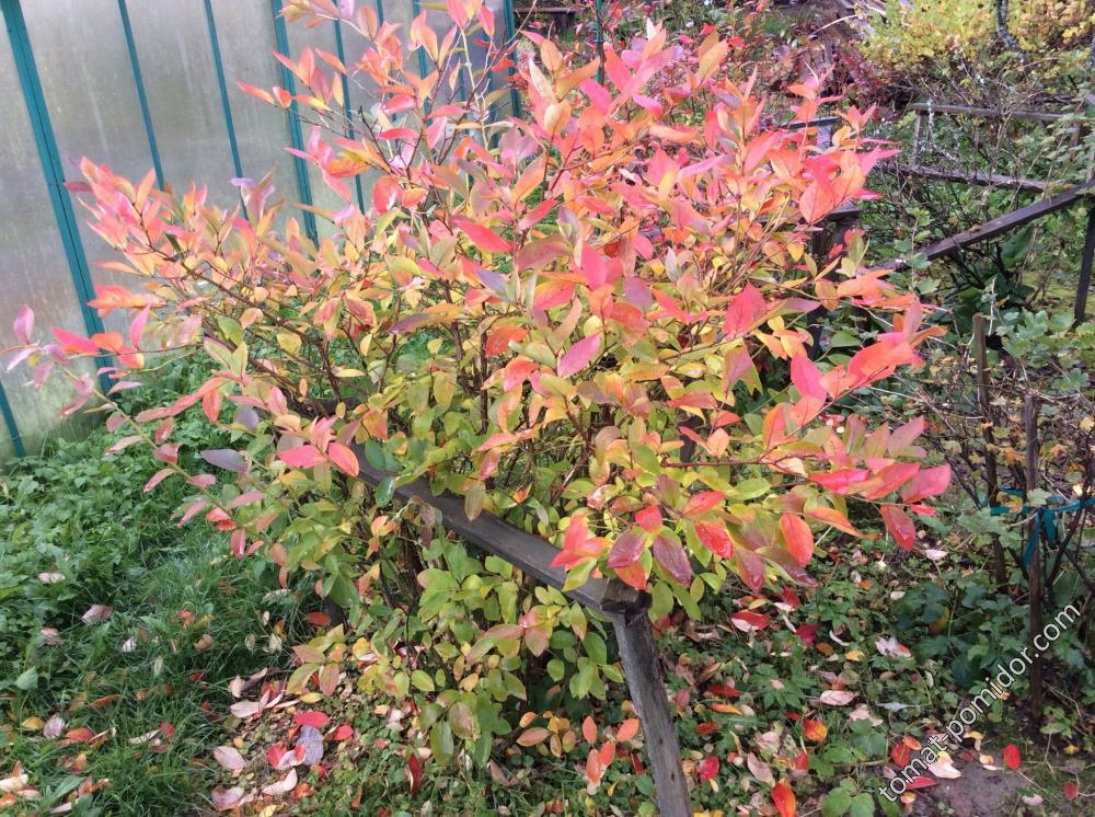 Осенняя листва Блюкроп