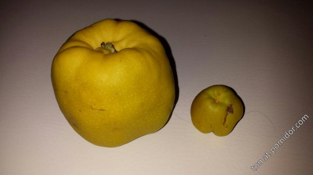 Сравнение плодов  Yukigoten и SPECIOSA TOYO NISHIKI