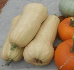 Урожай Баттерната Уолтхэм с одного куста
