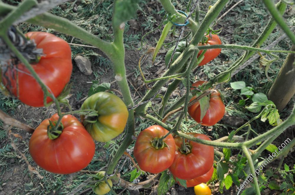 Второй ярус урожая Ядрён батон