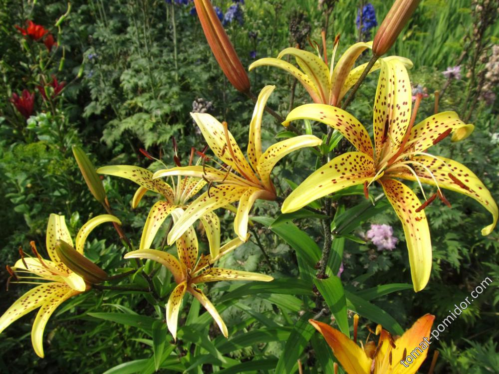 Лилия желтая в густую крапинку