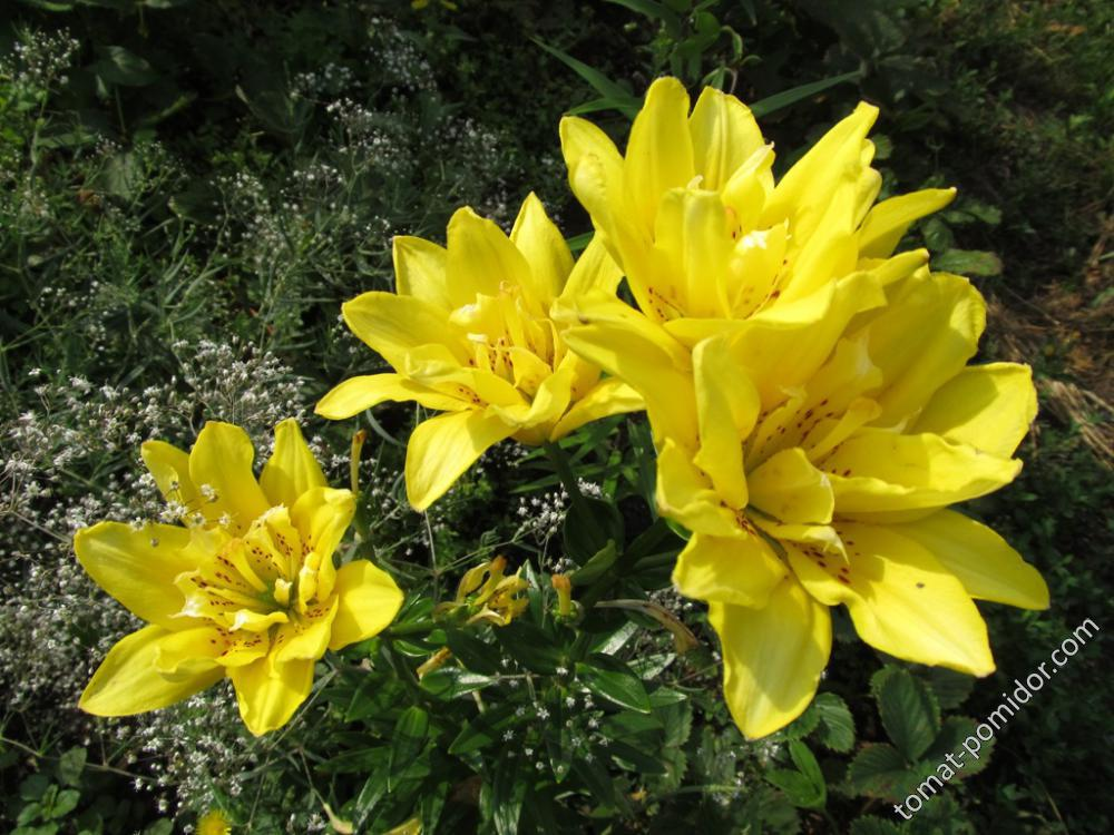 Лилия желтая махровая