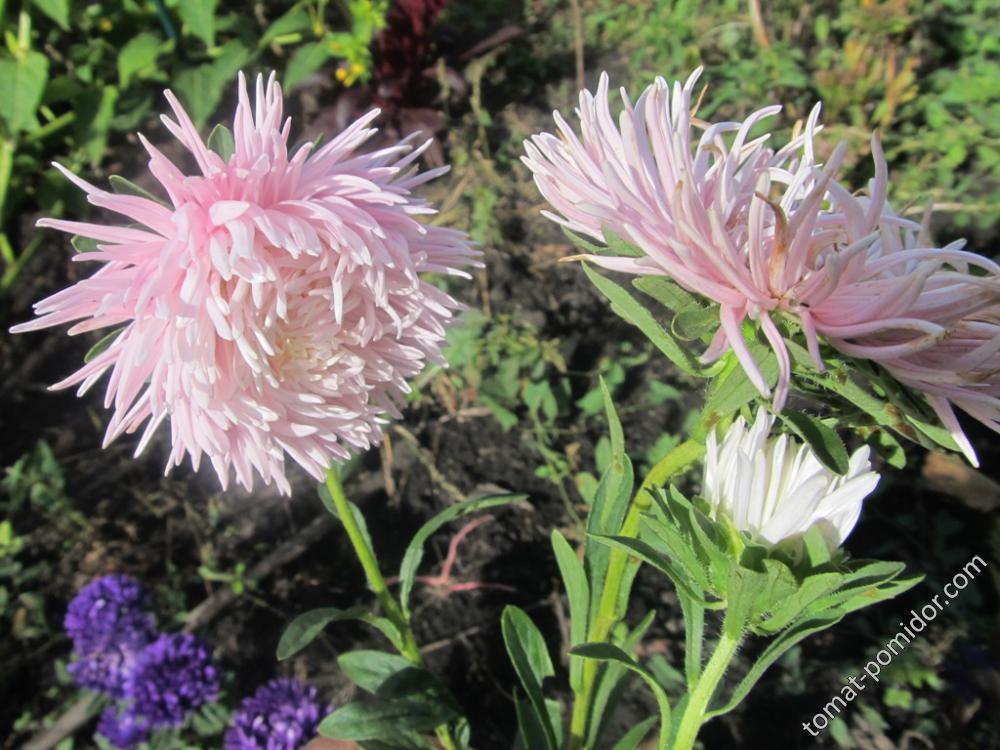 Астры нежно-розовые