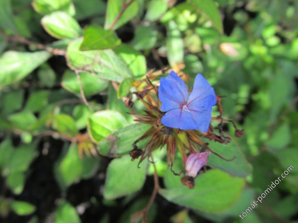 Куст с голубыми цветами