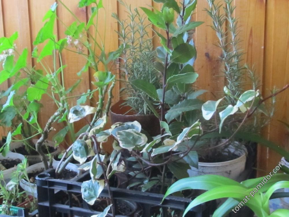 Плющ с крупными листьями