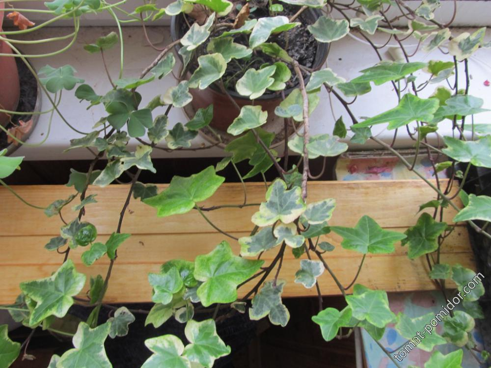 Плющ с мелкими листьями