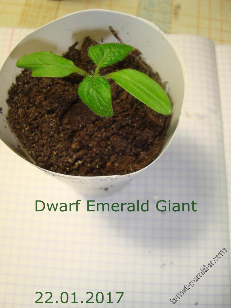 Dwarf Emerald Giant 22.01.2017
