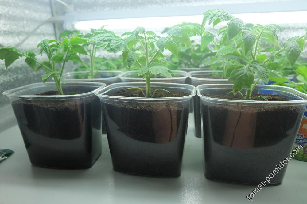 томаты рассада1