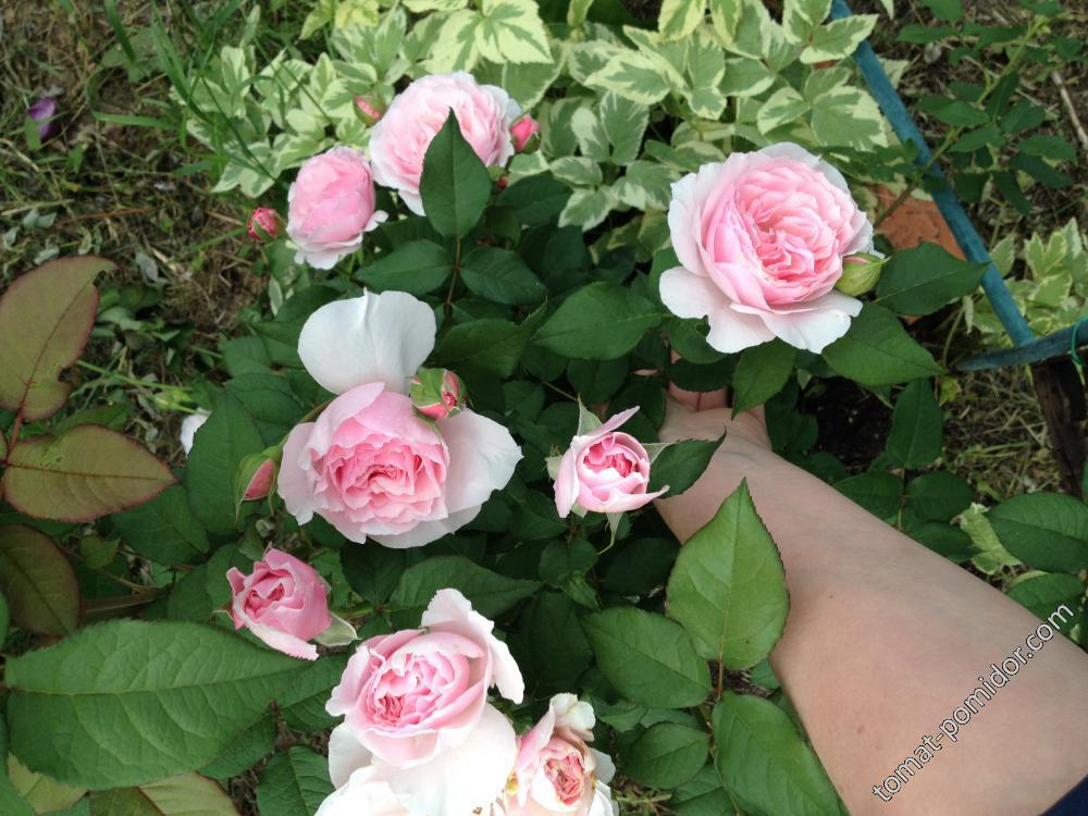 Роза  серии Тантау