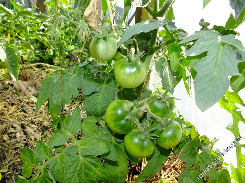 помидорик4