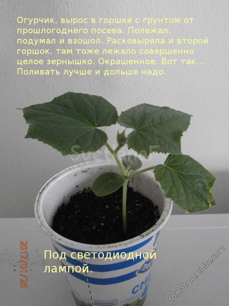 огурец 26-01-17