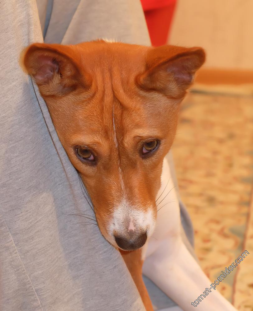 собака-виновака