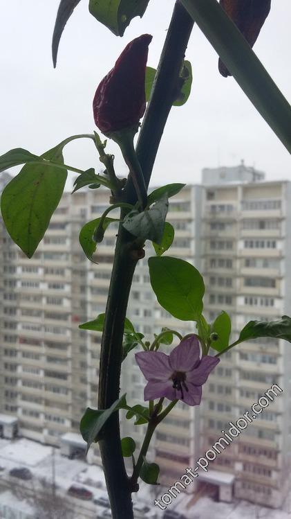 Цветок Боливийской радуги