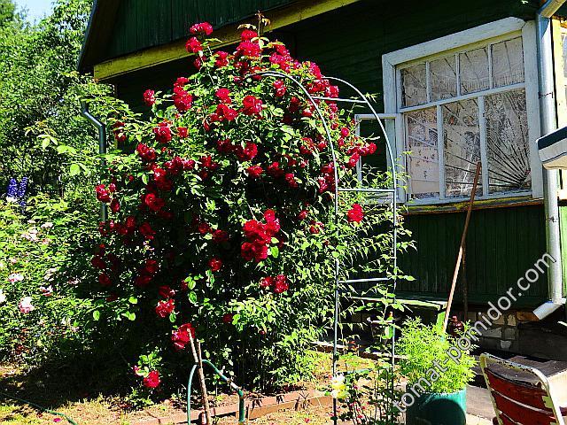 Моя любимая плетистая роза