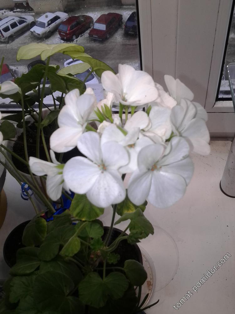 пеларгония Люстра белая