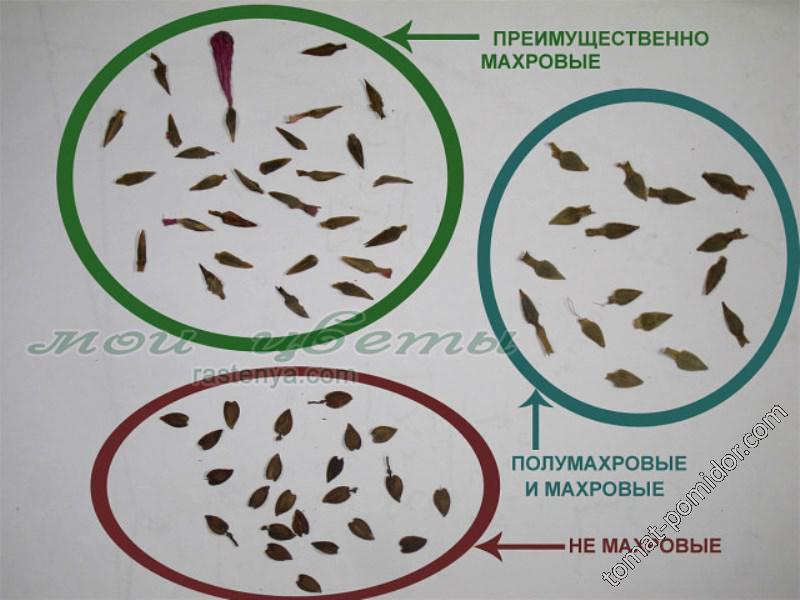 Как определить махровость цветов по семенам