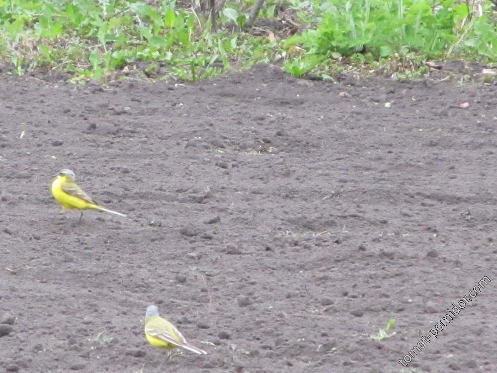 Желтые трясогузки