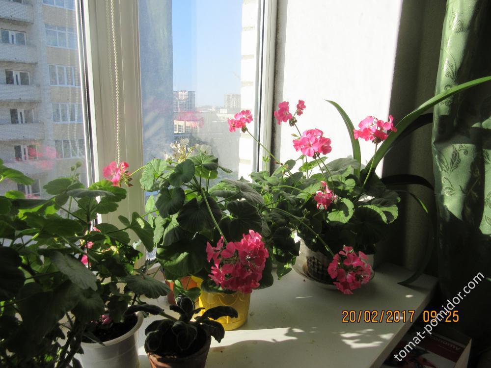 пеларгония Мой ангел Полина из семян