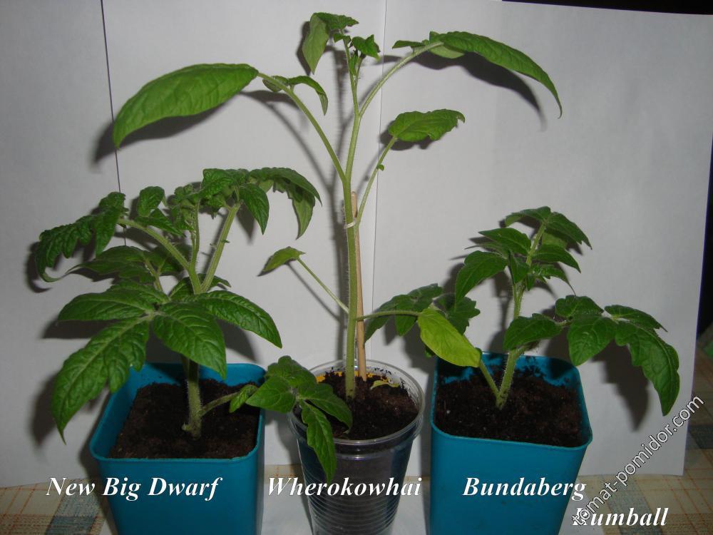 New Big Dwarf , Wherokowhai и Bundaberg Rumball.
