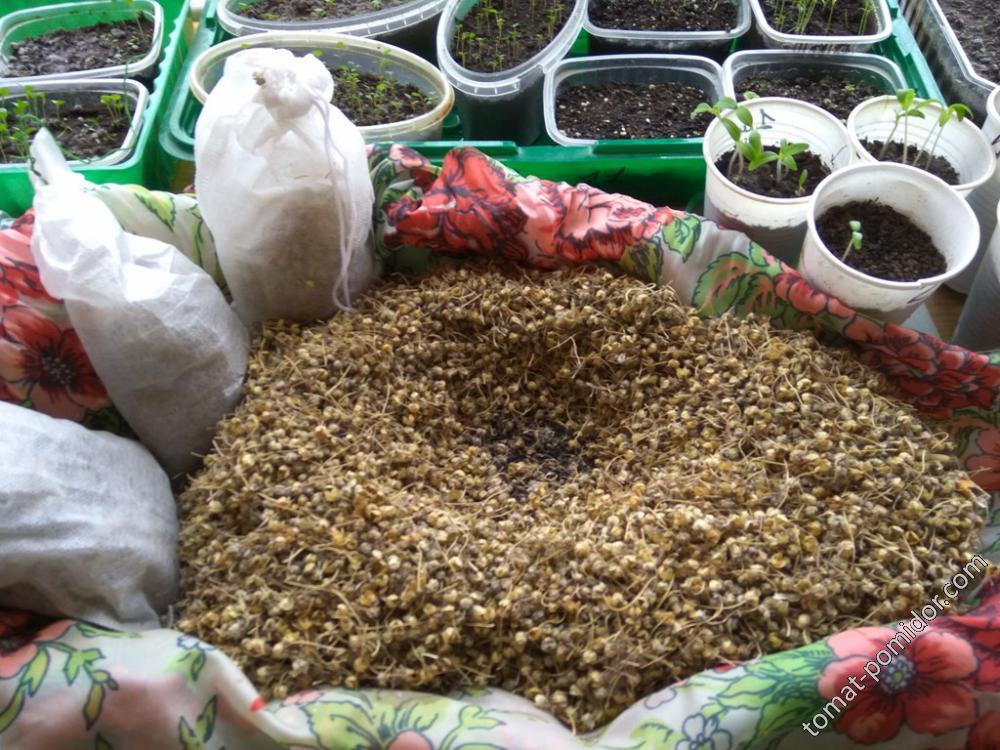 Семена луков