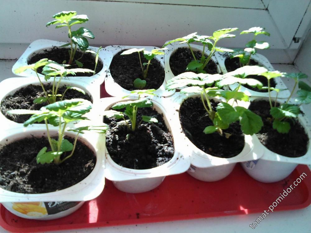 крупноплодная клубника из семян в 3 месяца