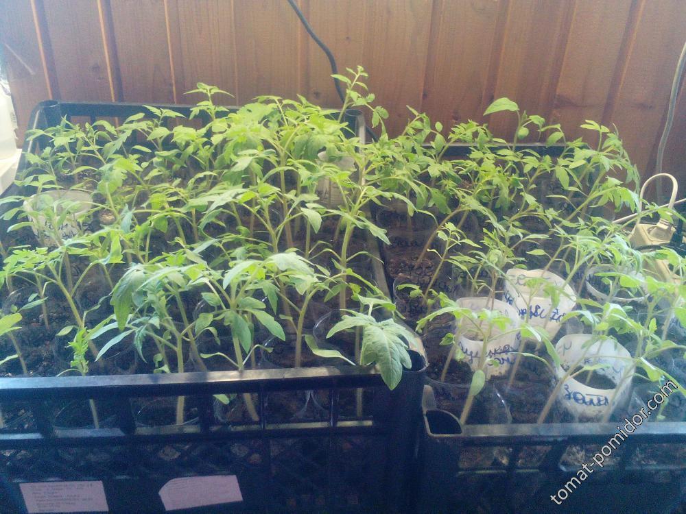 29 марта-помидорки