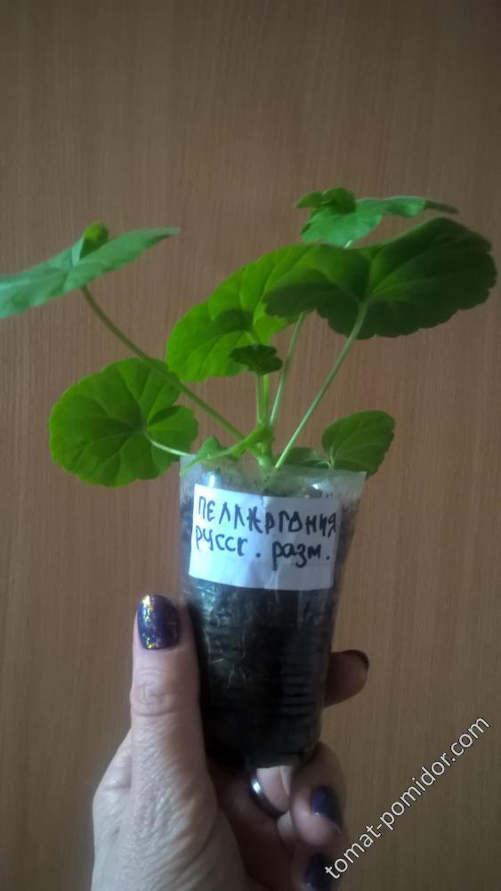 пелларгония из семян