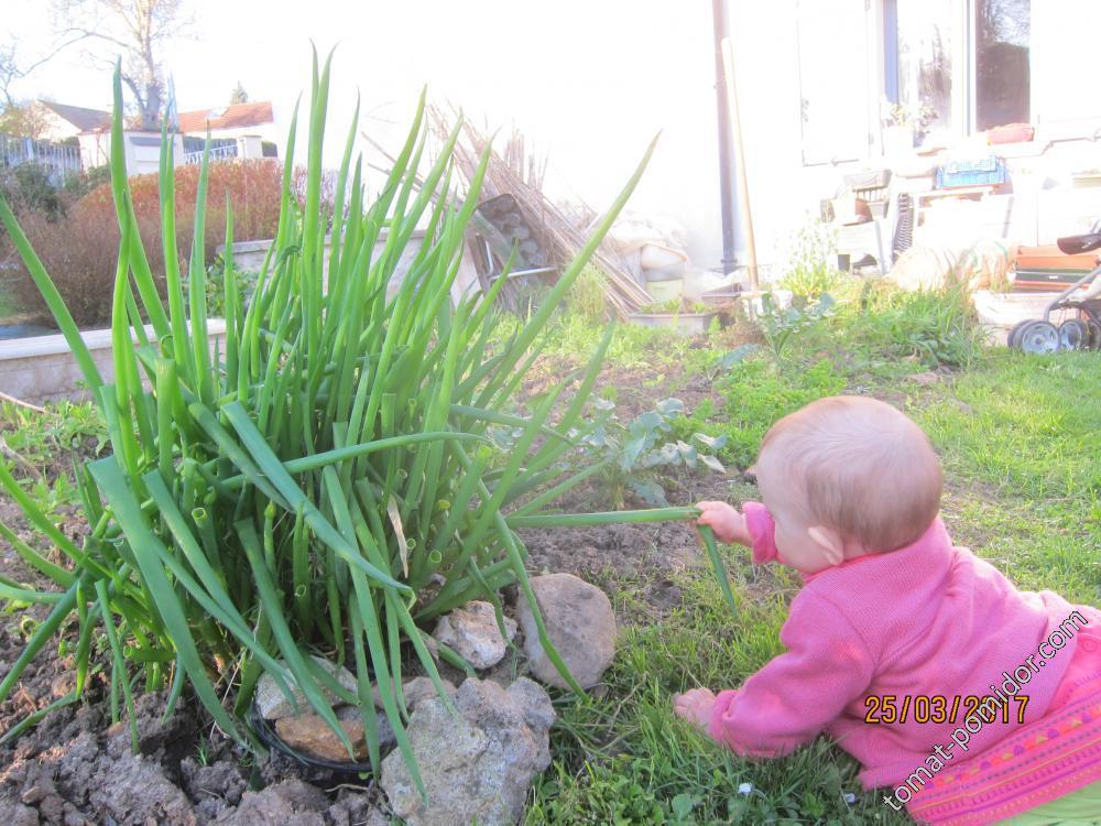 Первый сбор лука-батуна