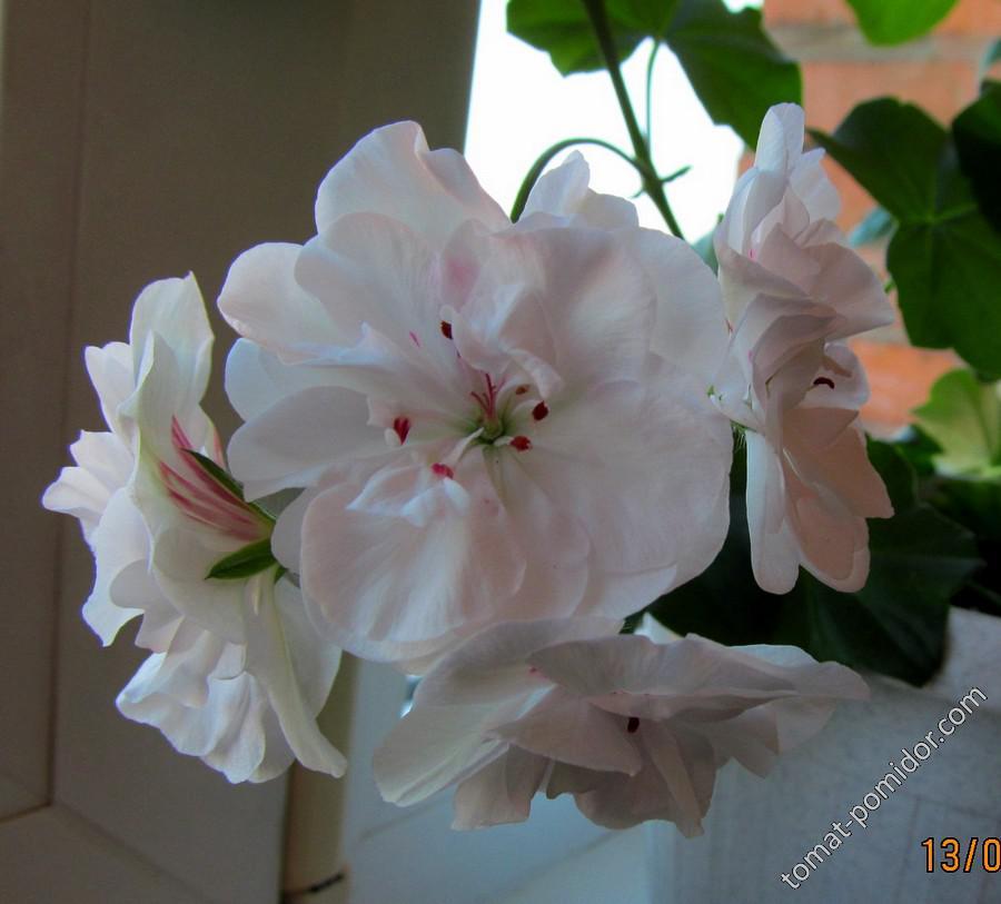 Цветок герани плющевидной белой