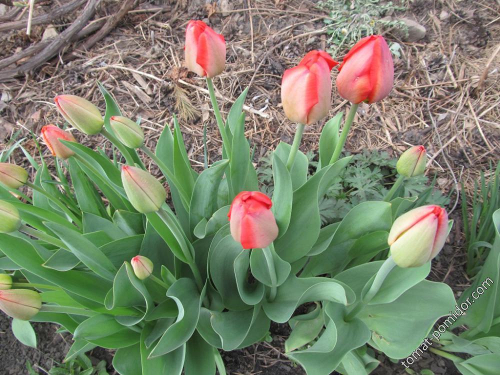 Тюльпаны расцветают