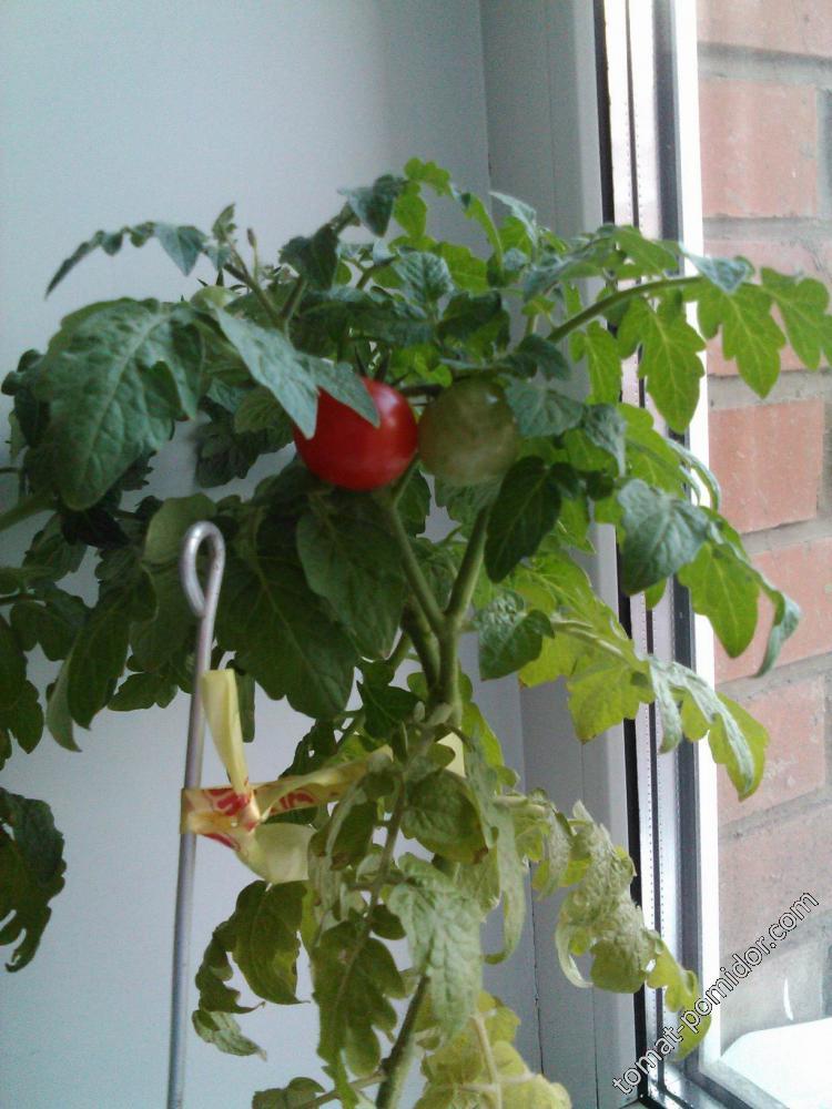 первые помидорки на подоконнике