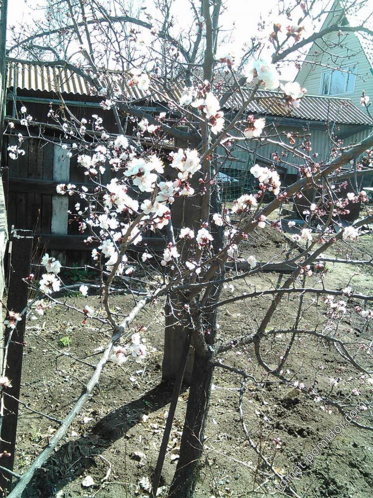 Абрикос цветет. Будем с вареньем и соком!