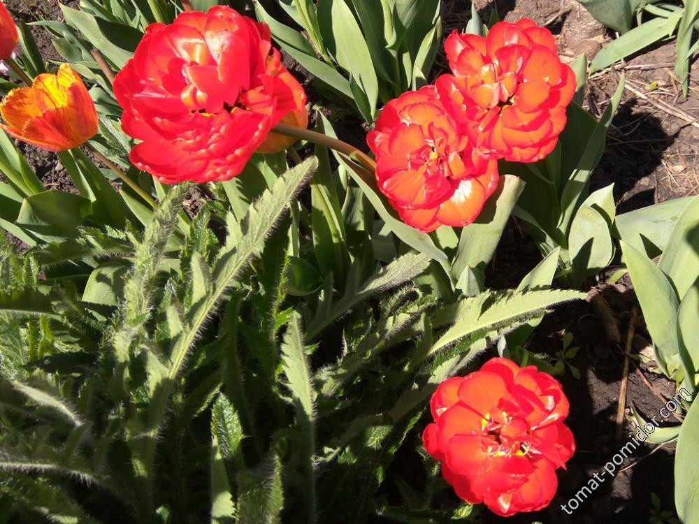 Махровые красные тюльпаны