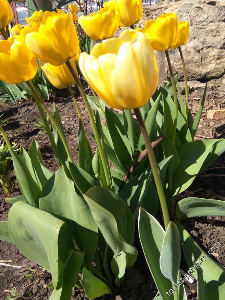 Другой желтый тюльпан