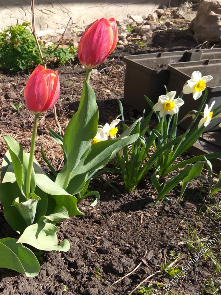 Малиновые с желтым тюльпаны