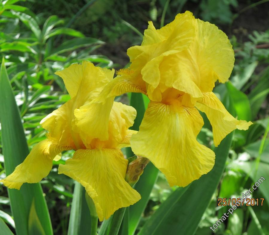 Ирис жёлтый